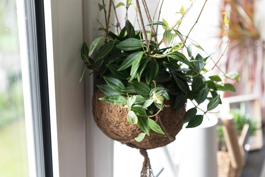 Pflanze an Küchenfenster