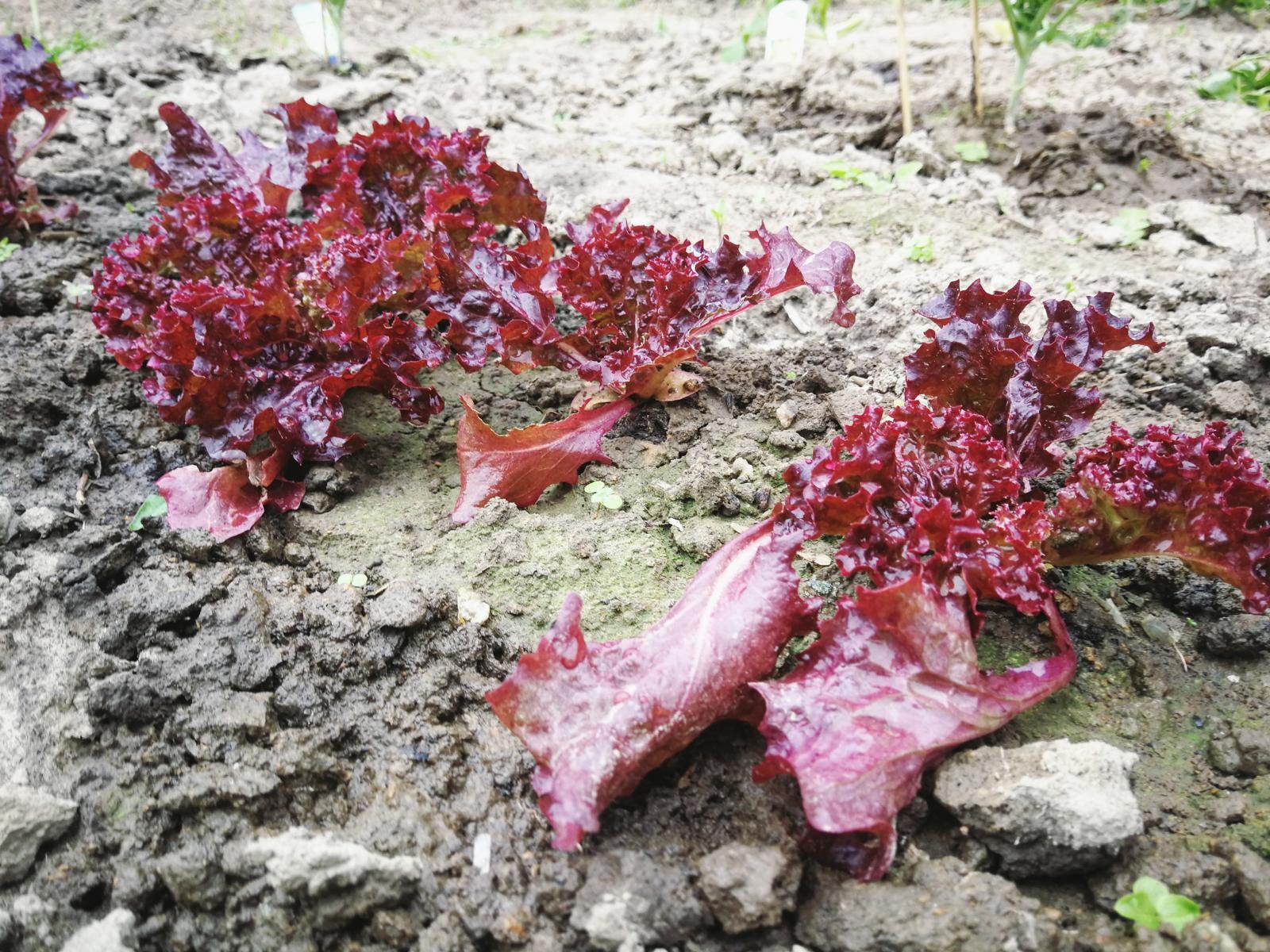 Salat Gemüsegarten Bochum