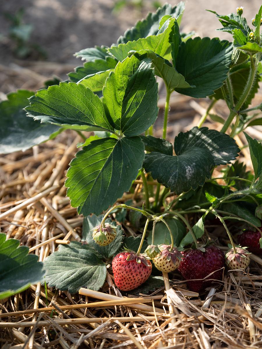 Erdbeeren selber anbauen Tipps zum richtigen Standort, der Pflege und Bewässerung