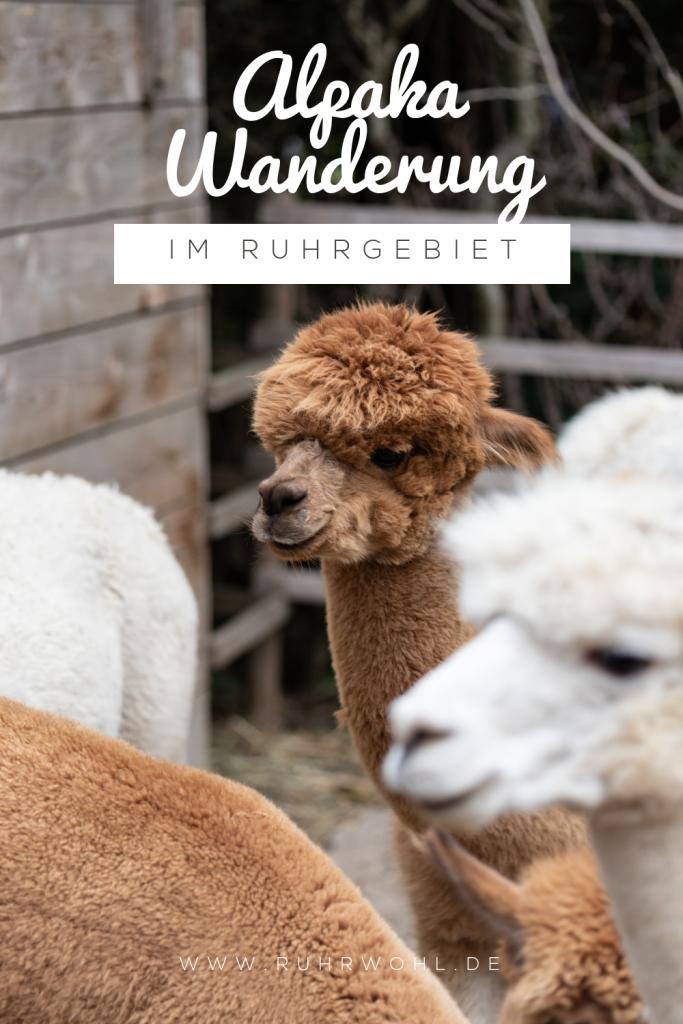 Alpaka Trekking im Ruhrgebiet (NRW): Eine Wanderung mit Lamas und Alpakas ist ein einmaliges Erlebnis