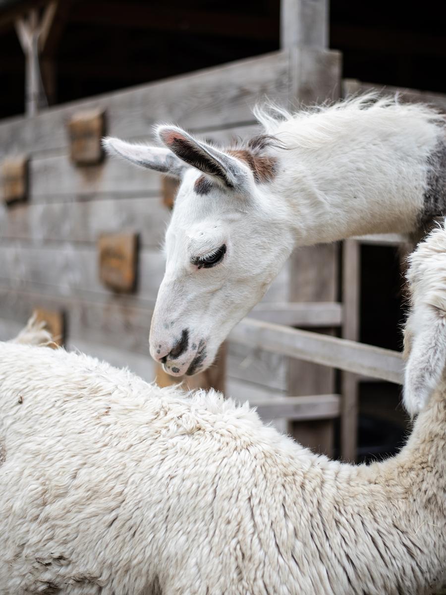 Alpaka-Trekking: Wandern mit Alpakas im Ruhrgebiet